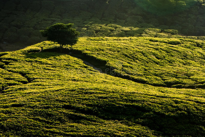 Plantación de té de la montaña de Cameron fotografía de archivo
