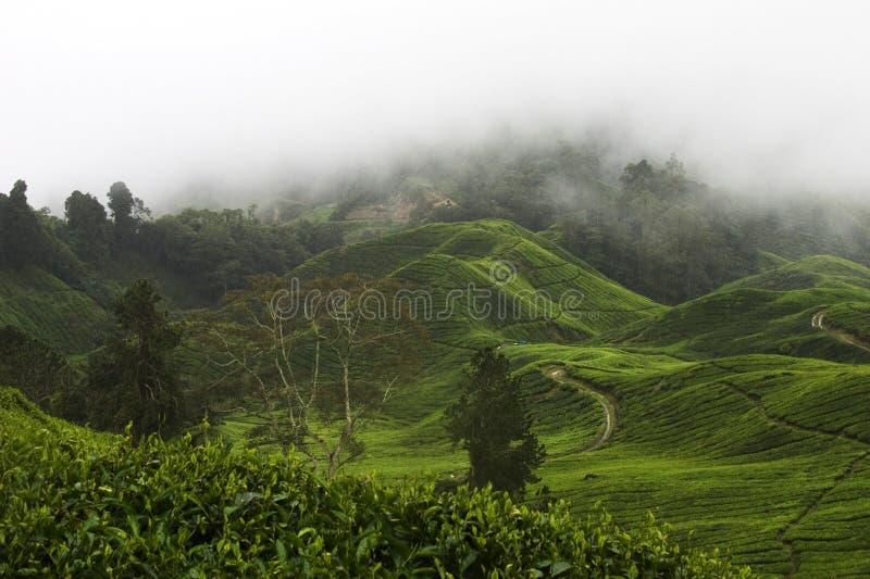 Plantación de té de las montañas de Cameron foto de archivo libre de regalías