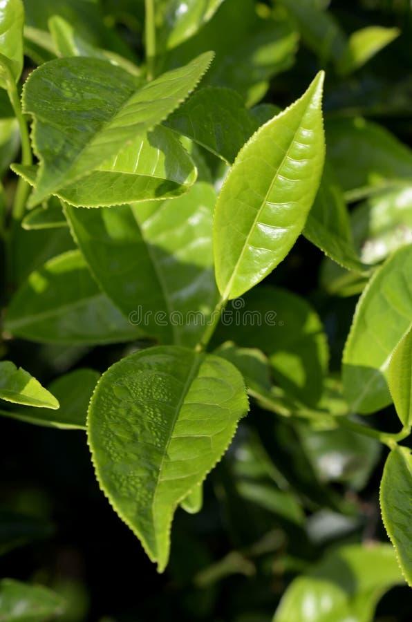 Plantación de té el Camerún foto de archivo libre de regalías