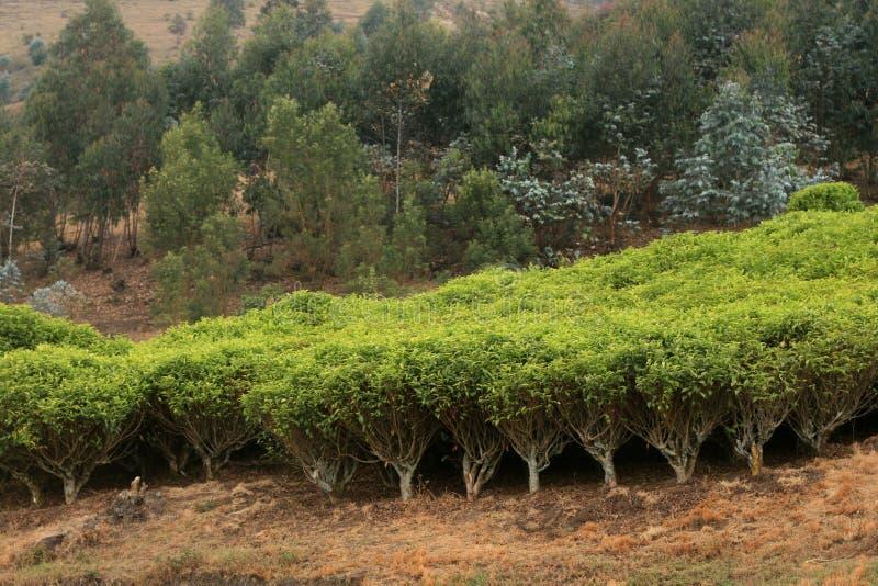 Plantación de té en África fotografía de archivo