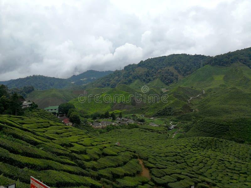 Plantación de té en colinas foto de archivo