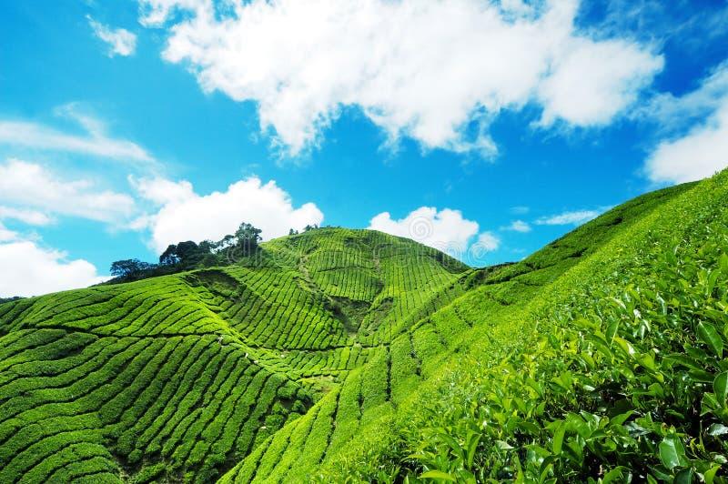 Plantación de té en la montaña de Cameron imagen de archivo