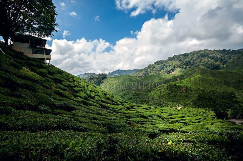 Plantación de té en la montaña del Camerún, Malasia imagenes de archivo