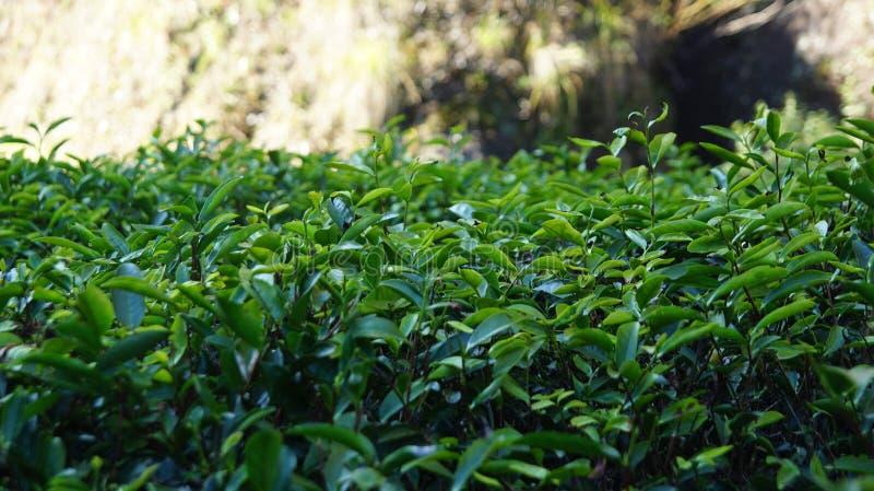 Plantación de té en la provincia de Fujian, China imagen de archivo libre de regalías