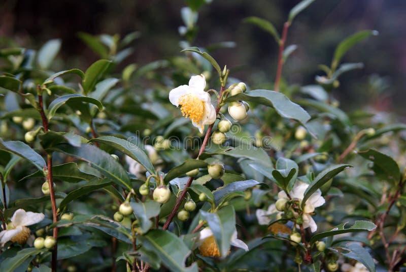 Plantación de té en la provincia de Fujian, China imagen de archivo