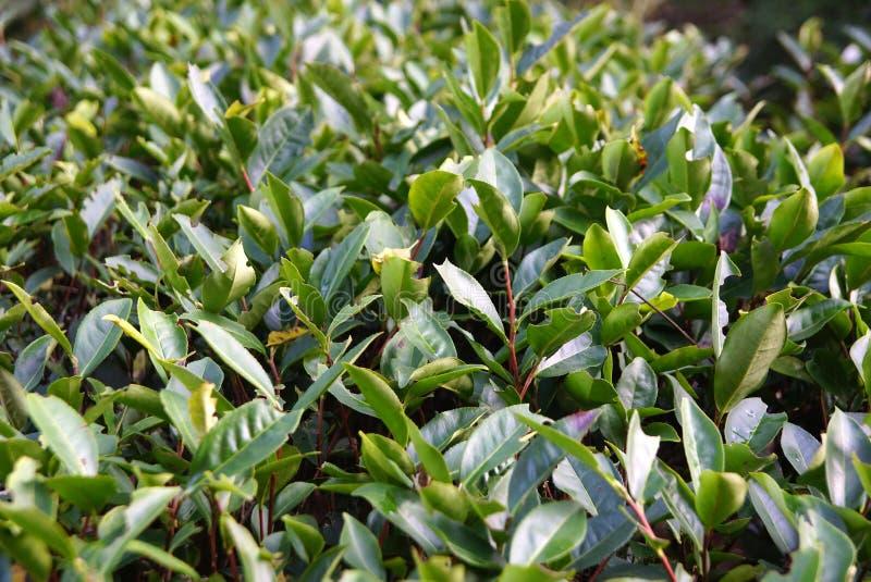 Plantación de té en la provincia de Fujian, China fotos de archivo libres de regalías
