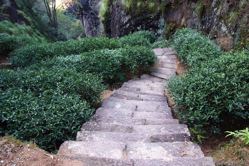 Plantación de té en la provincia de Fujian, China imágenes de archivo libres de regalías