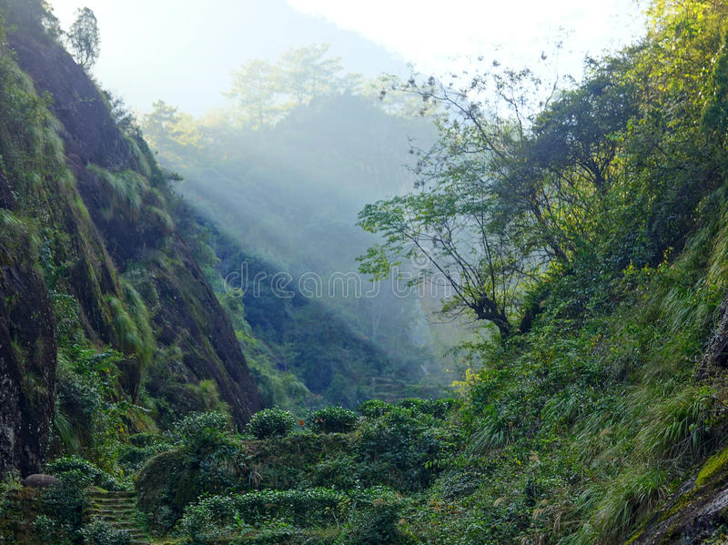 Plantación de té en la provincia de Fujian, China fotos de archivo