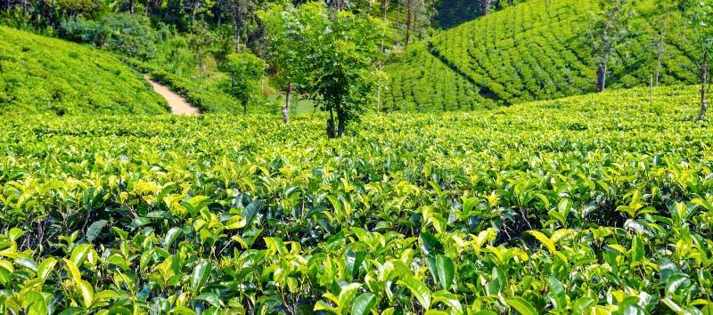 Plantación de té en país ascendente cerca de Nuwara Eliya, Sri Lanka wide fotografía de archivo