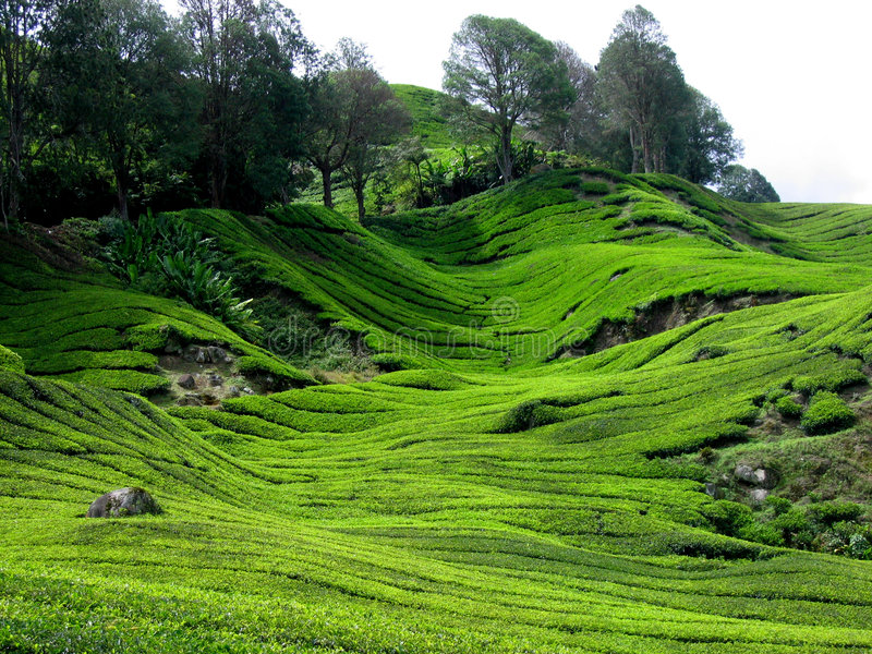 Plantación de té, Malasia foto de archivo libre de regalías