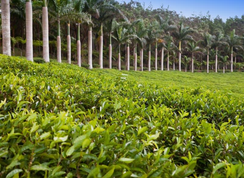 Plantación de té mauritius fotografía de archivo