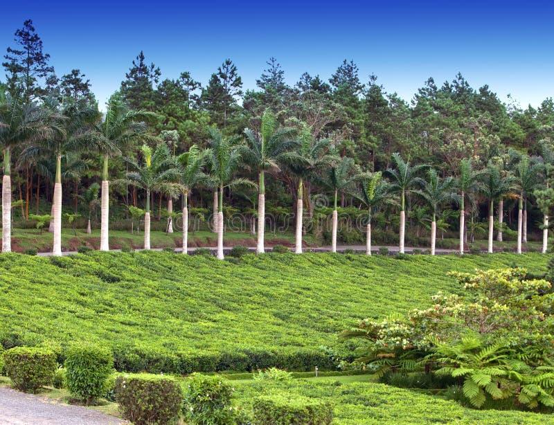 Plantación de té mauritius foto de archivo