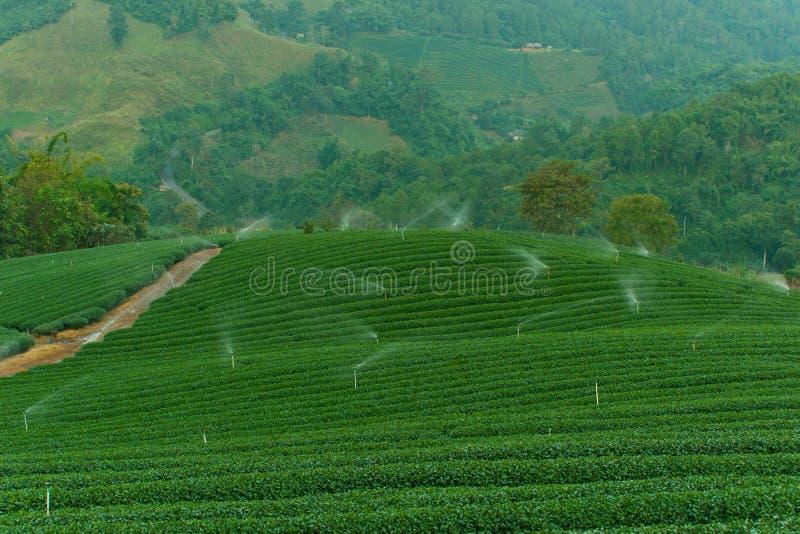 Plantación de té, naturaleza, planta, hoja, regaderas imagen de archivo