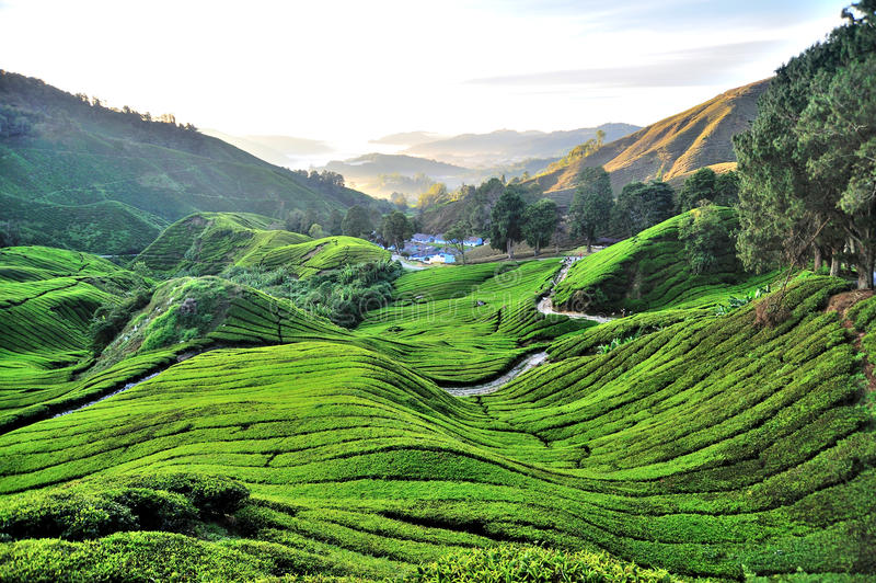 Plantación de té, Sungai Palas, Cameron Highlands fotografía de archivo