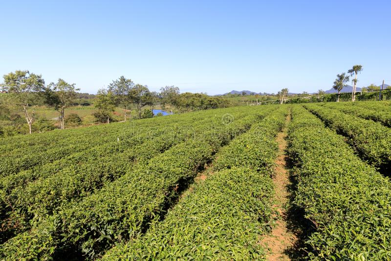 Plantación de Tam Chau Tea con los arbustos del té verde en Bao Lam, Vietn foto de archivo