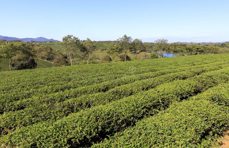 Plantación de Tam Chau Tea con los arbustos del té verde en Bao Lam, Vietn fotografía de archivo