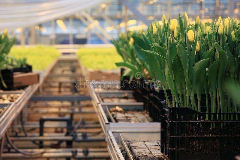 Plantación de tulipanes fotos de archivo