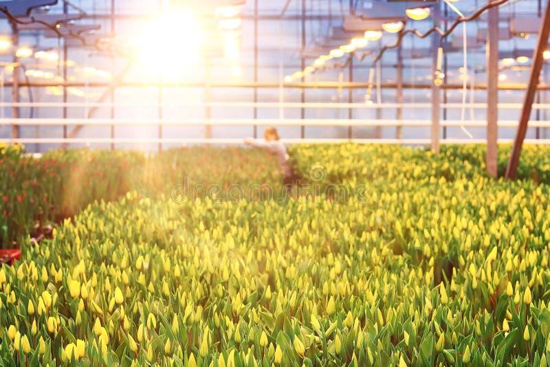 Plantación de tulipanes foto de archivo libre de regalías