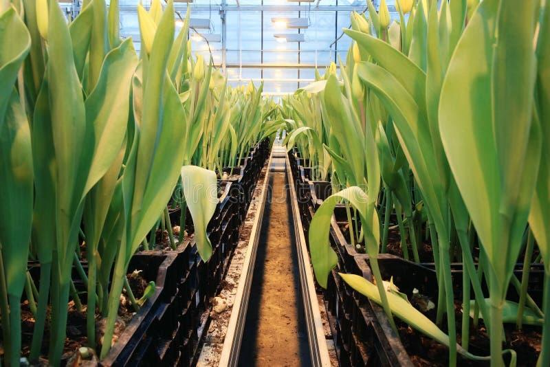 Plantación de tulipanes fotografía de archivo
