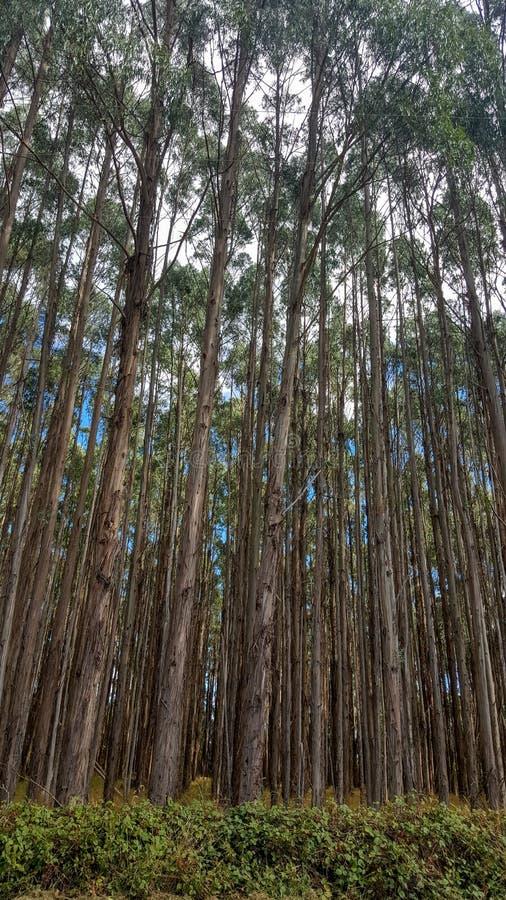Plantación del árbol en Tasmania, Australia fotos de archivo