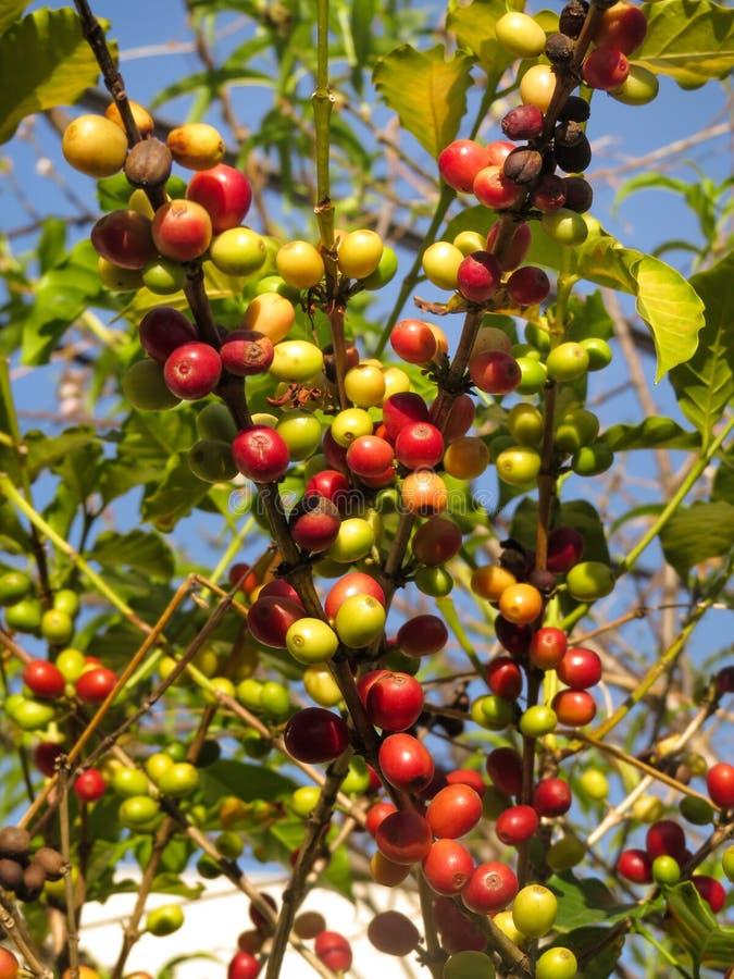 Plantación del arabica del Coffea imagenes de archivo