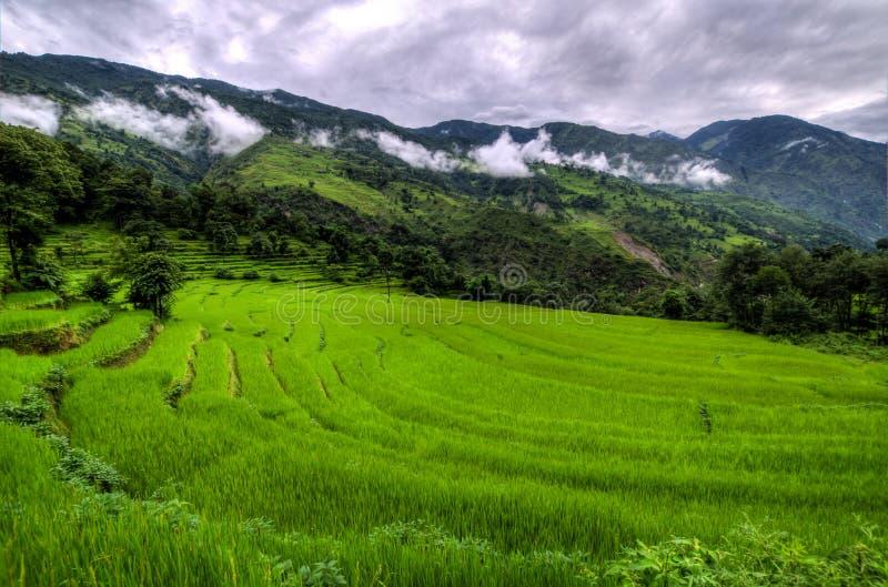 Plantación del arroz imagenes de archivo