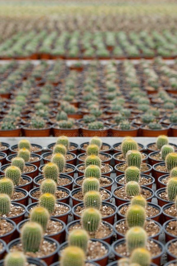 Plantación del cactus. foto de archivo libre de regalías