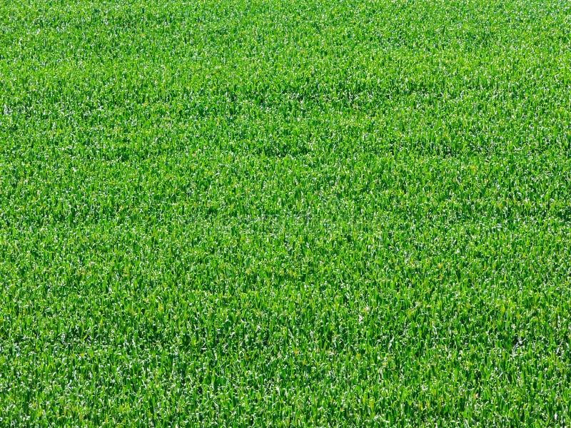 Plantación del campo de maíz en el Brasil - textura verde del extracto del modelo fotografía de archivo libre de regalías