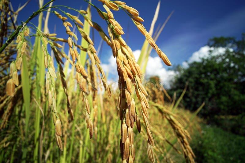 Download Plantación Del Campo Del Arroz Foto de archivo - Imagen de paddy, paisaje: 64213008