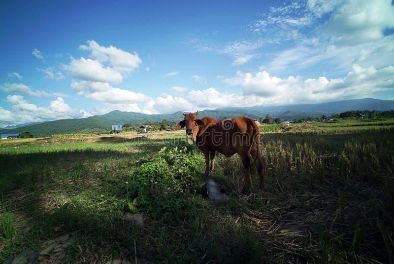 Download Plantación Del Campo Del Arroz Foto de archivo - Imagen de nublado, south: 64213168