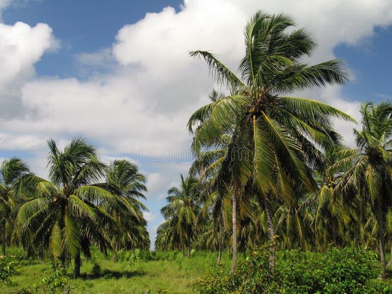 Plantación del coco imágenes de archivo libres de regalías
