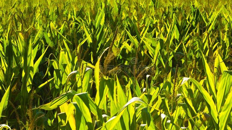 Plantación del maíz ilustración del vector