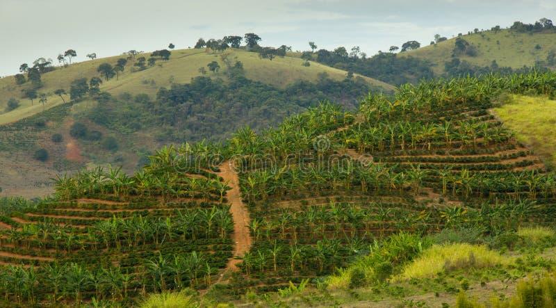 Plantación del plátano y de café imagen de archivo libre de regalías