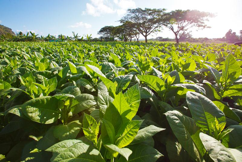 Plantación del tabaco granangular - Cuba foto de archivo