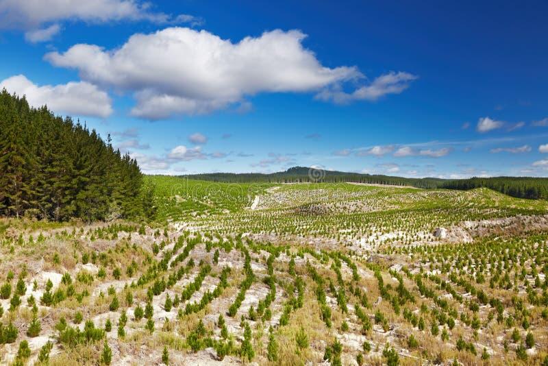 Plantación forestal con nuevas plántulas foto de archivo