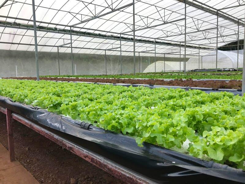 Plantación hidropónica orgánica de la lechuga en cuarto de niños del invernadero imagen de archivo