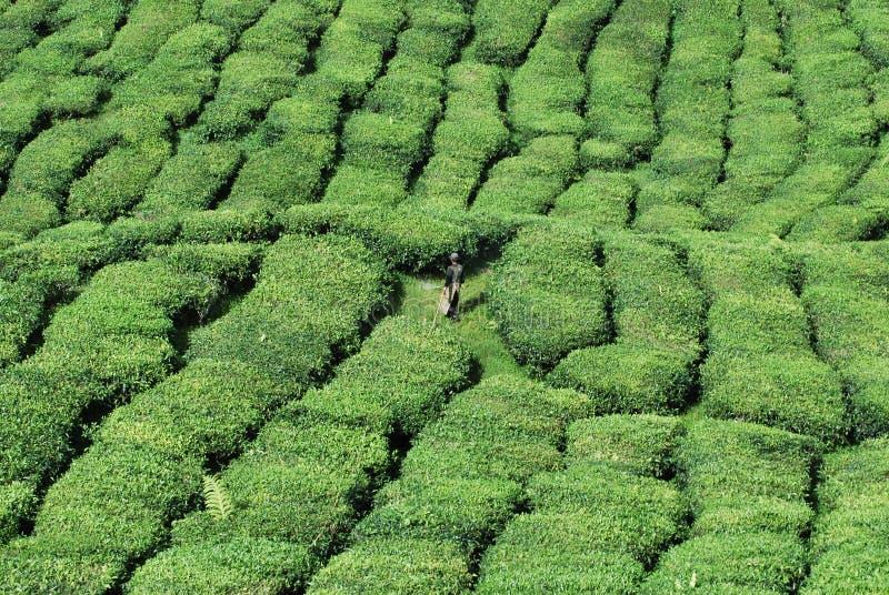 Plantación maderera del té imagenes de archivo