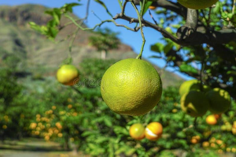 Plantaci?n sabrosa con muchos agrios anaranjados que cuelgan en ?rboles, valle de Agaete, Gran Canaria, Espa?a de las naranjas na fotografía de archivo