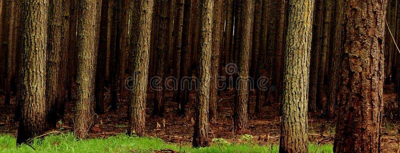 plantaci sosnowy drzewo fotografia royalty free