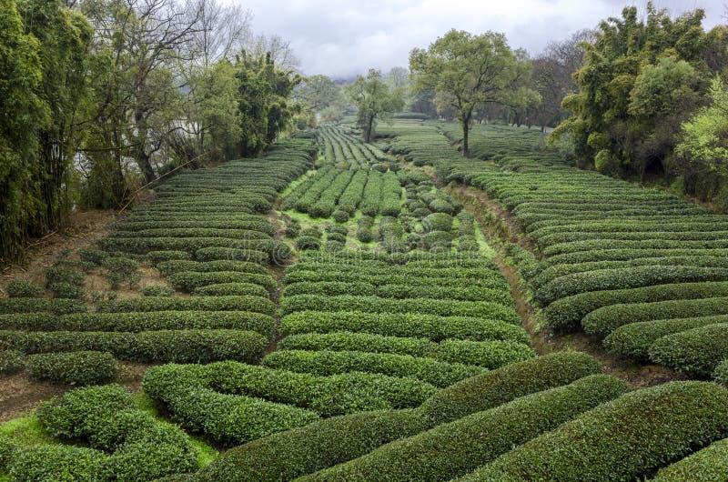 Plantaciones de té fotos de archivo libres de regalías