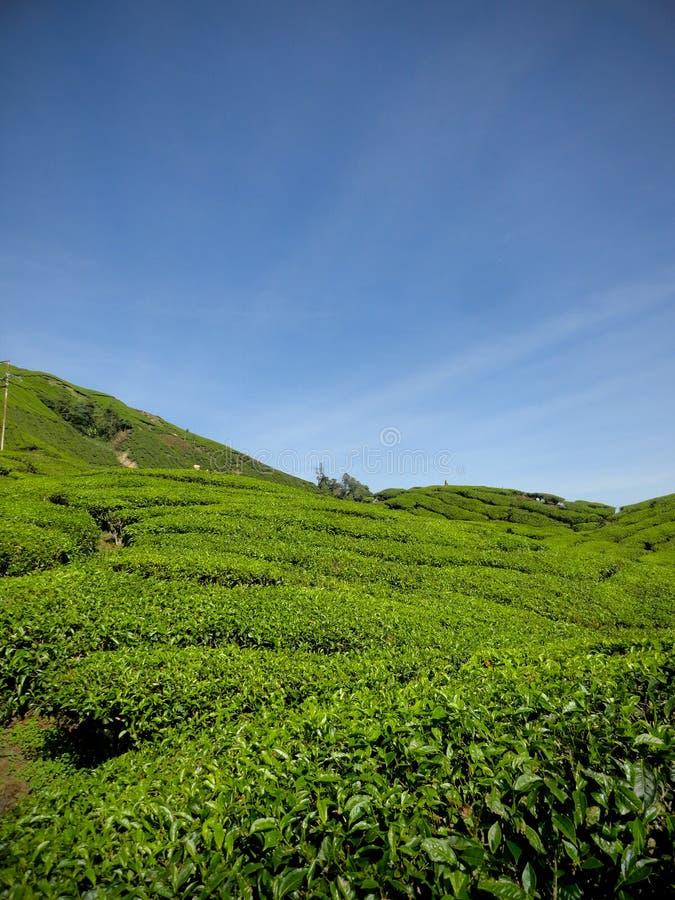 Plantaciones de té cerca de la montaña Malasia de Brinchang foto de archivo libre de regalías