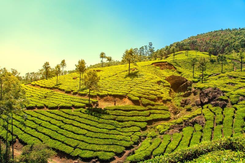 Plantaciones de té en Munnar, Kerala, la India imagen de archivo libre de regalías