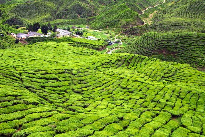 Plantaciones de té verde en las montañas del Camerún en Malasia fotos de archivo libres de regalías