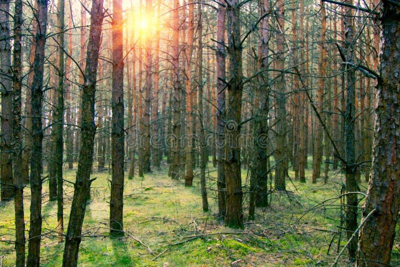 Plantaciones del pino en Alemania fotos de archivo