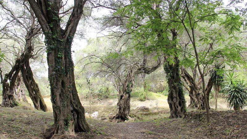 Plantaciones verdes olivas fotografía de archivo libre de regalías