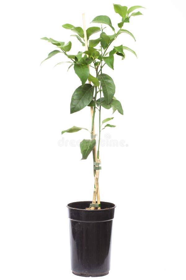 Plantacitrusträdväxt i den små krukan arkivbilder