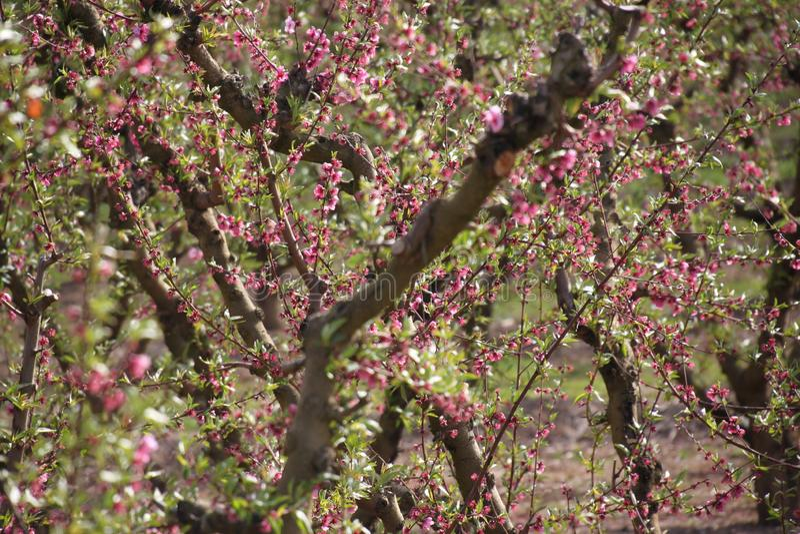 Plantacja brzoskwini drzewa zdjęcie stock