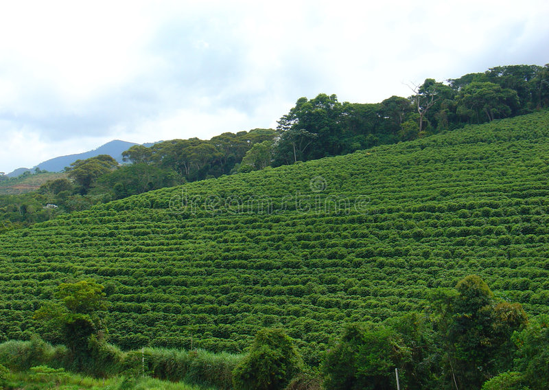 plantacja kawowa zdjęcie stock