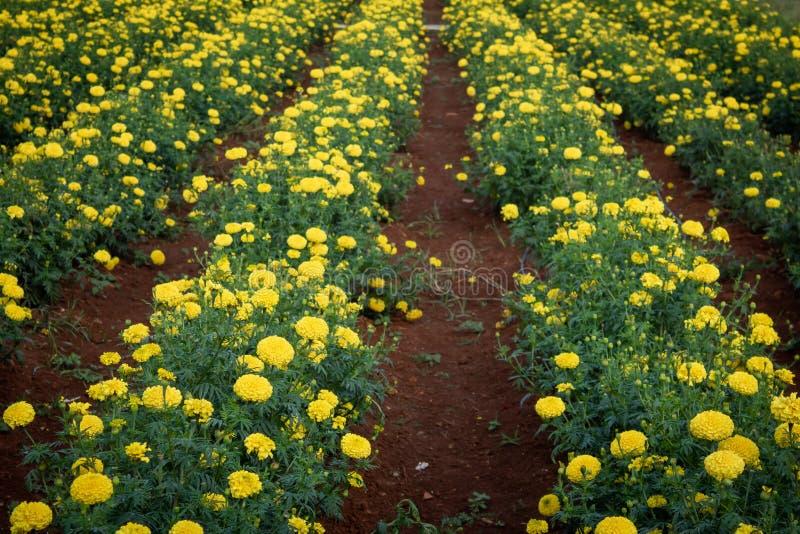 Plantacja kwiatów Marigold w rzędach niedaleko Bangalore, Kolar, Indie obrazy stock
