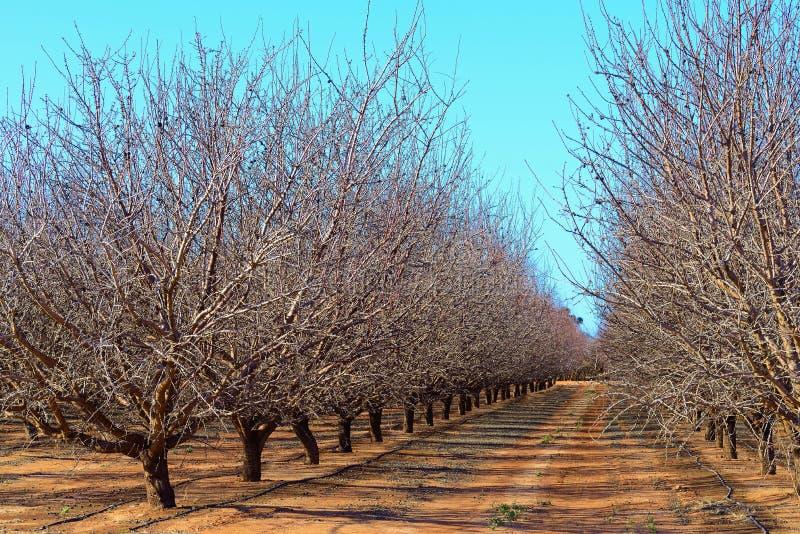 Plantacja Migdałowi drzewa zdjęcie stock